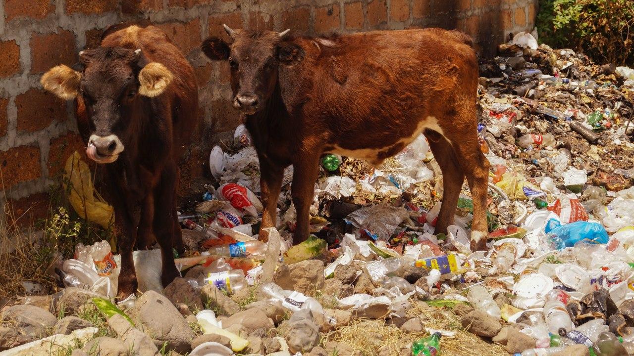 krávy_a_odpadky